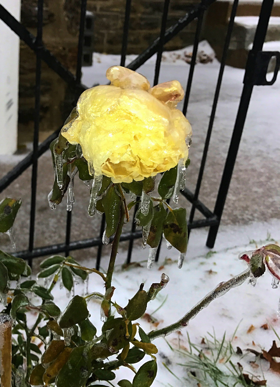 Frozen yellow rose